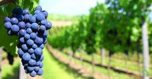 Lambrusco - Uva Prodotto tipico della campagne emiliane