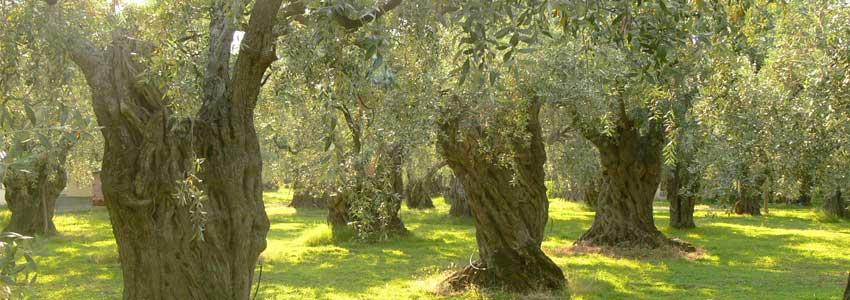 Oliveto - Olio Extravergine di Oliva (Olio EVO) Proprietà e Benefici e Produzione